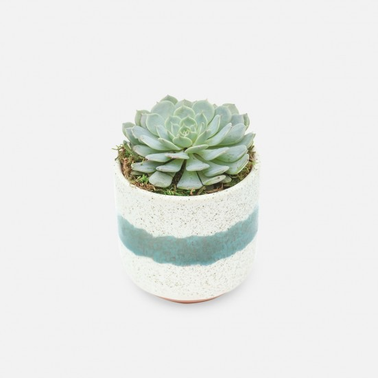Echeveria in Mini Mateo Pot Birthday