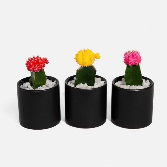 Moon Cactus Trio Plants