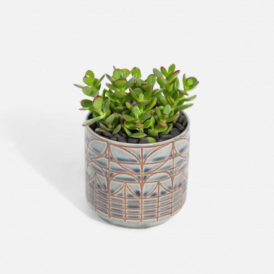 Mini Jade - Piccolo New Jersey Plants