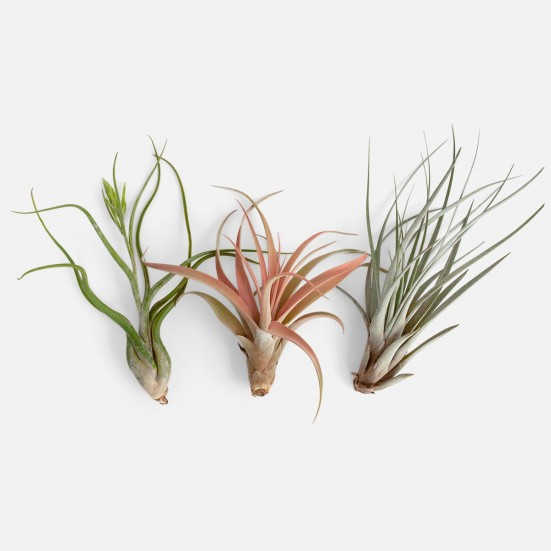 Air Plants Bundle - Grande Plants
