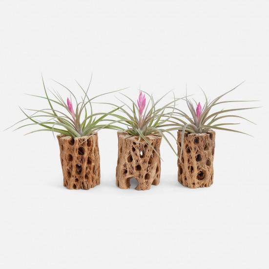 Air Plants Bundle - Blooming Plants