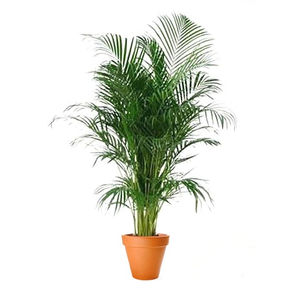 Areca Palm 12 Pot Plantshedcom