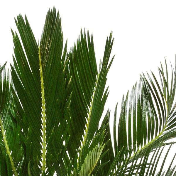 Sago Palm in Ceramic