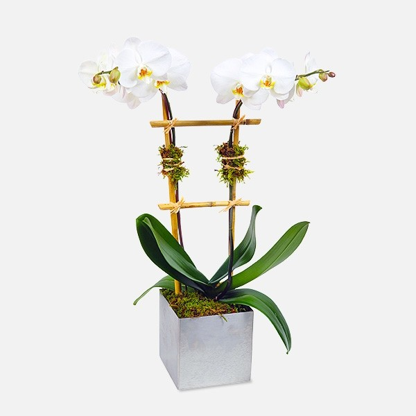 2 Stem Phalaenopsis In Silver Ceramic