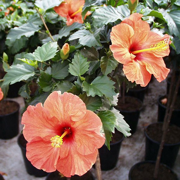 Hibiscus Standard Plant Delivery Nyc Plantshedcom