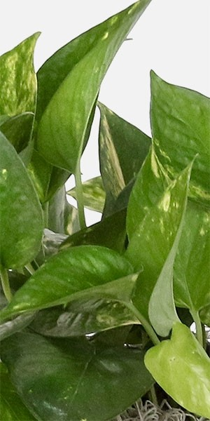 Golden Pothos - Medio