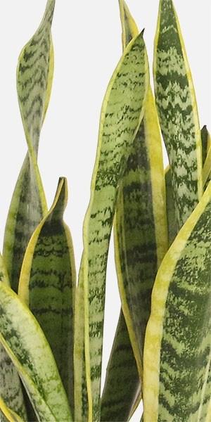 Snake Plant Laurentii - Medio