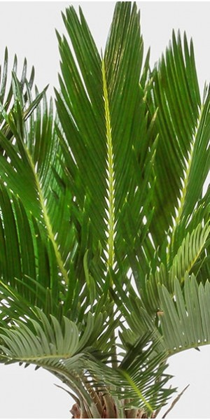 Sago Palm in Ceramic