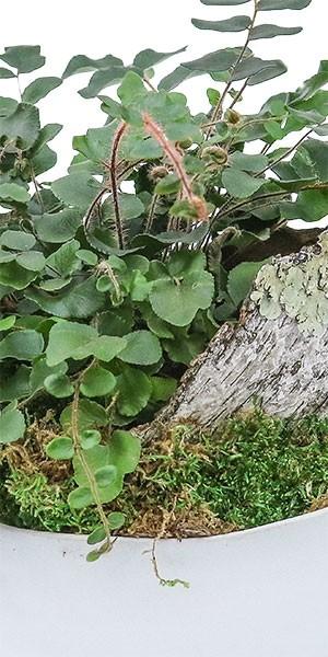 Button Fern Garden in Large Taliah Bowl