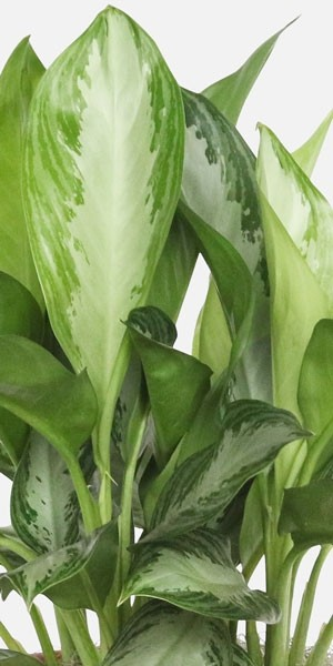 Aglaonema Silver Bay - Medio