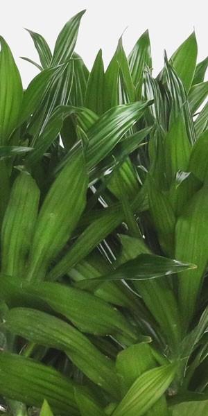Dracaena Green Jewel - Grande