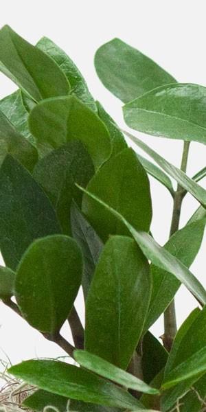 ZZ Plant - Piccolo