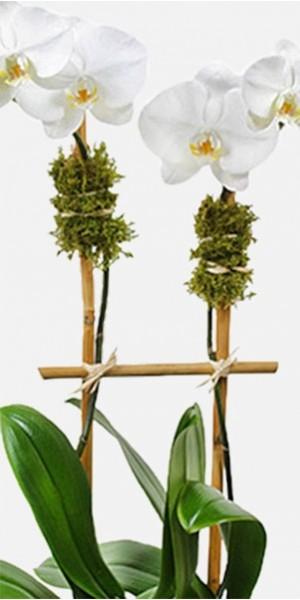 Classic 2-Stem Phalaenopsis (Glass)