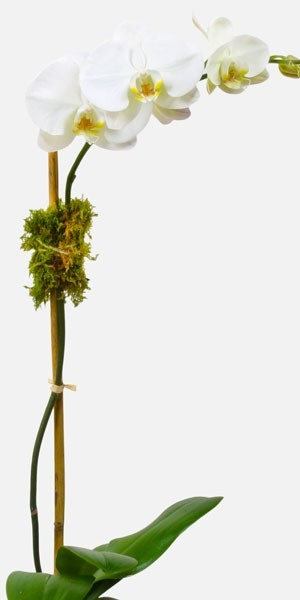 Classic 1-Stem Phalaenopsis (Glass)