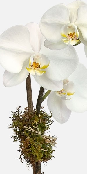 White Orchid Plant - Single