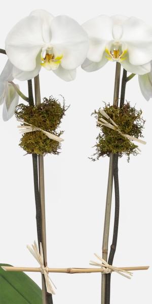 White Orchid Plant - Triple