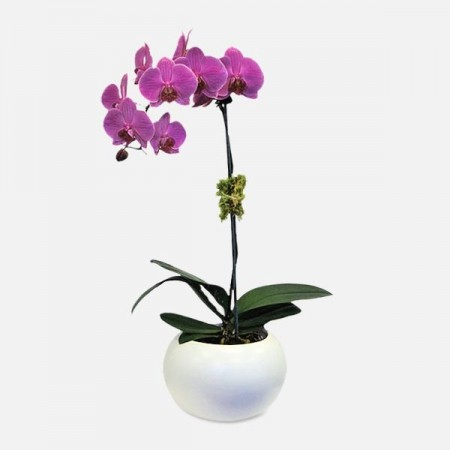 Purple 1-Stem Phalaenopsis (Ceramic)