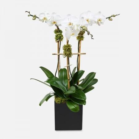 Classic 3-Stem Phalaenopsis (Ceramic)