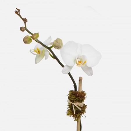 Marley 1-Stem Phalaenopsis