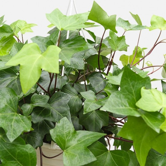 Hanging Green English Ivy Plants