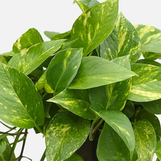 Hanging Golden Pothos Hanging Plants
