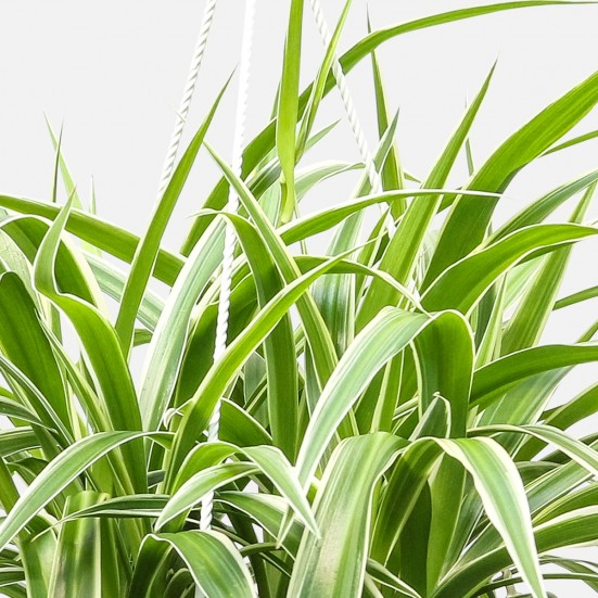 Hanging Spider Plant Plants