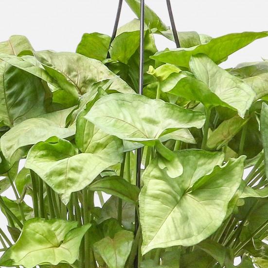 Hanging Nephthytis Indoor Foliage Plants