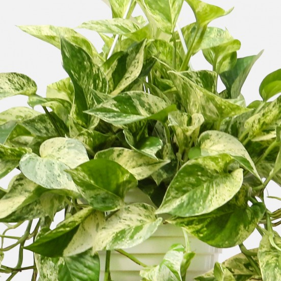 Hanging Marble Queen Pothos Best Sellers