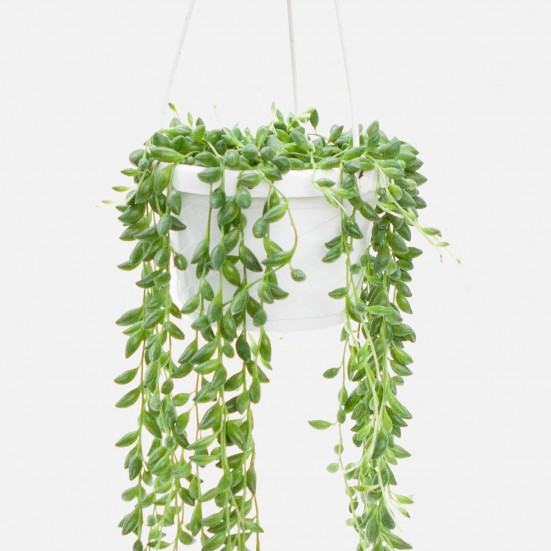Hanging String of Beads Plants