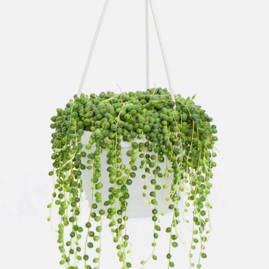 Hanging String of Pearls Hanging Plants