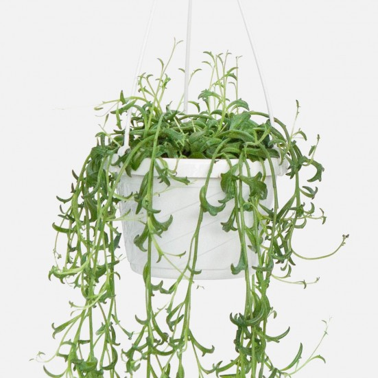 Hanging String of Dolphins Plants