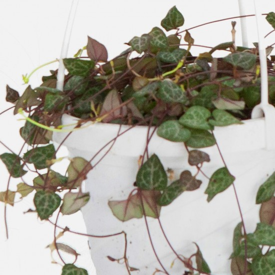 Hanging String of Hearts Plants