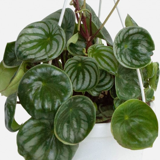 Hanging Watermelon Peperomia Plants