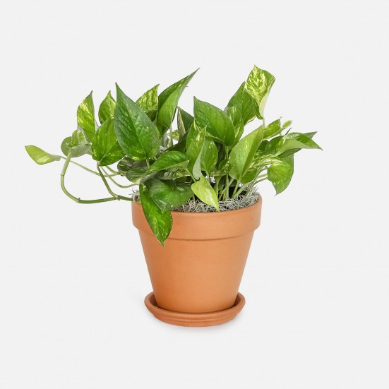Golden Pothos - Medio Plants