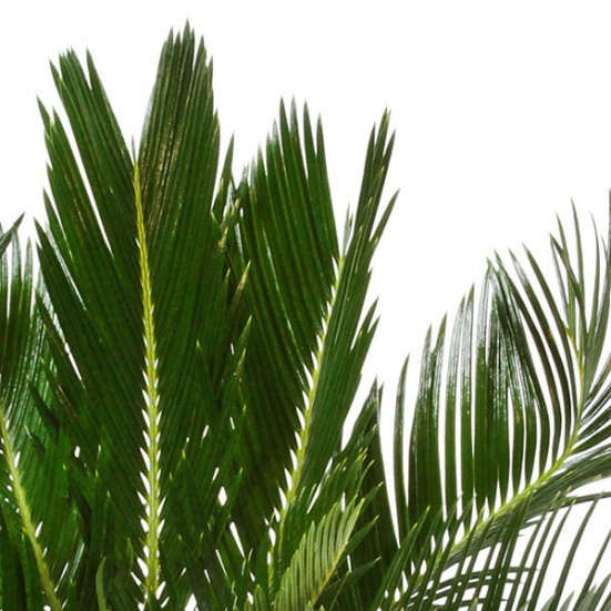 Sago Palm in Ceramic Business Gifting