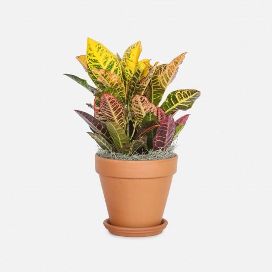 Croton Petra - Medio Plants