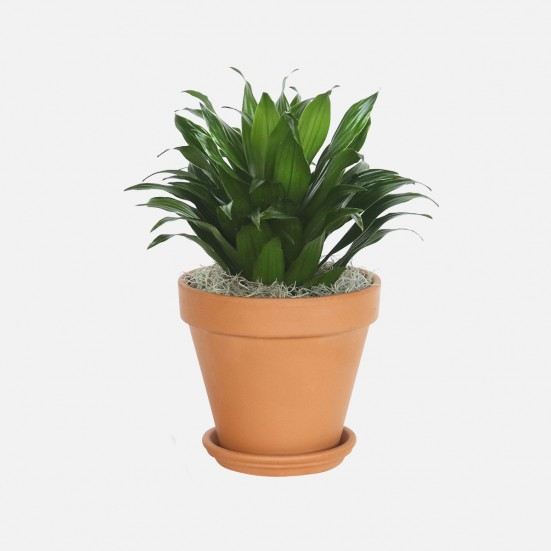 Dracaena Compacta - Medio Indoor Foliage Plants