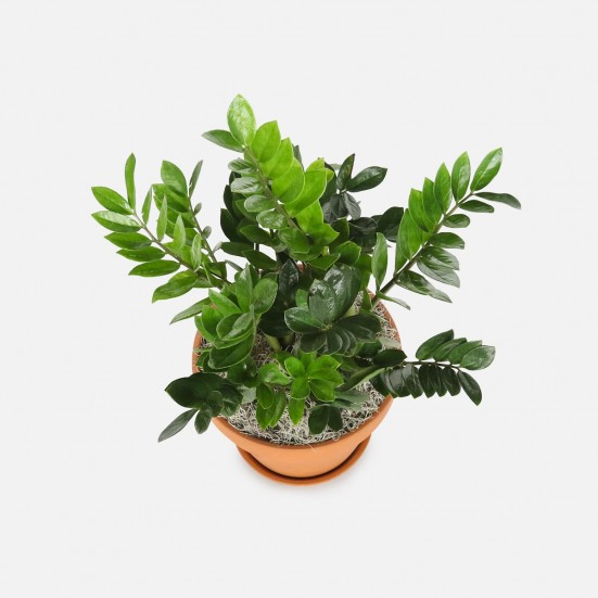 10'' ZZ Plant Indoor Foliage Plants