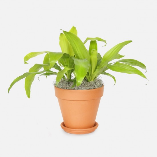 Dracaena Limelight - Medio Indoor Foliage Plants