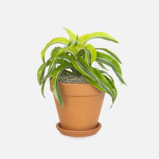 Dracaena Lemon Surprise - Medio Indoor Foliage Plants