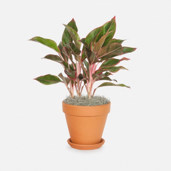 Aglaonema Siam - Medio Plants