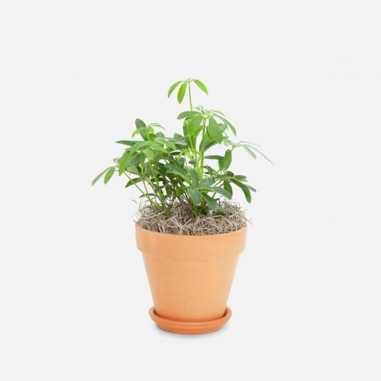 Schefflera Arboricola - Piccolo New Arrivals
