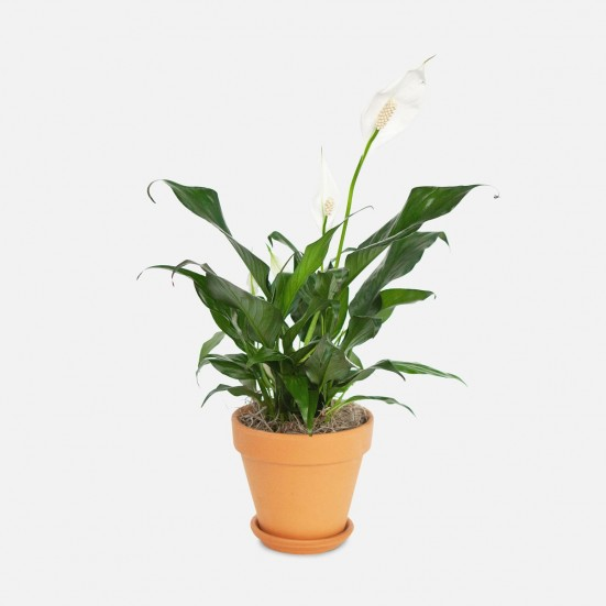Spathiphyllum - Piccolo Indoor Blooming Plants