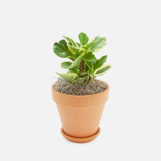 Marble Peperomia - Piccolo Pet Friendly Plants