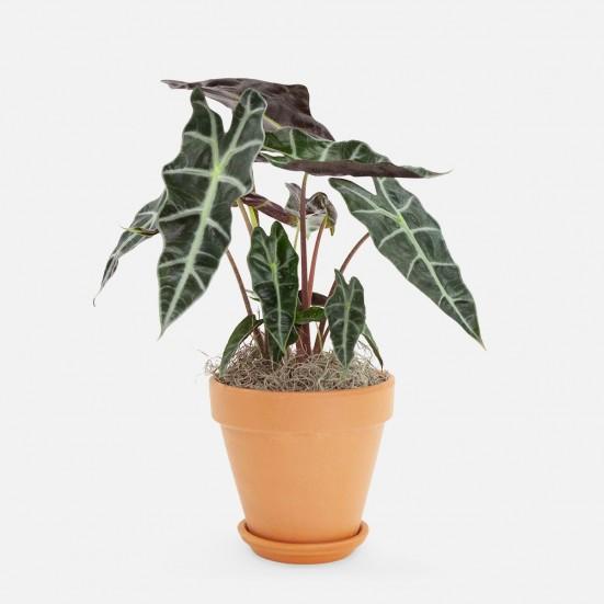 Alocasia Polly - Piccolo Indoor Foliage Plants