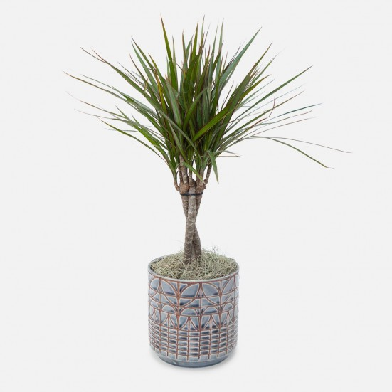 Dracaena Marginata Braid - Medio Plants