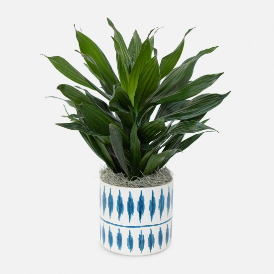Dracaena Green Jewel - Medio Plants
