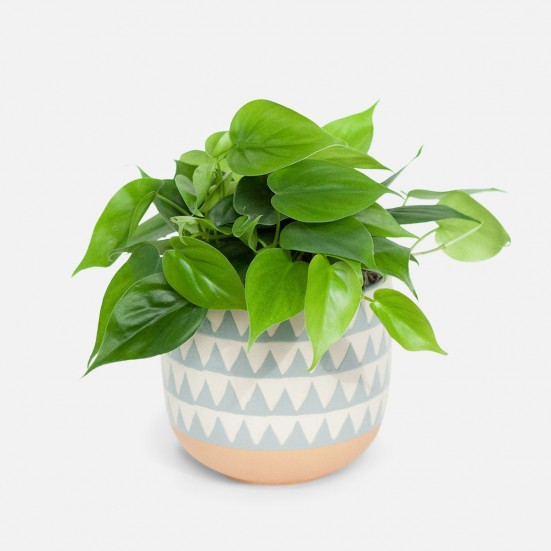Philodendron Green - Medio New Jersey Plants