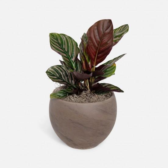Calathea Ornata - Medio New Jersey Plants