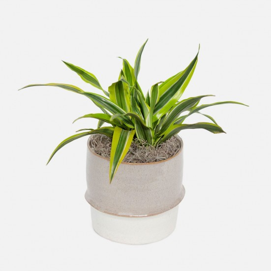 Dracaena Warneckii Lemon Lime - Medio Plants